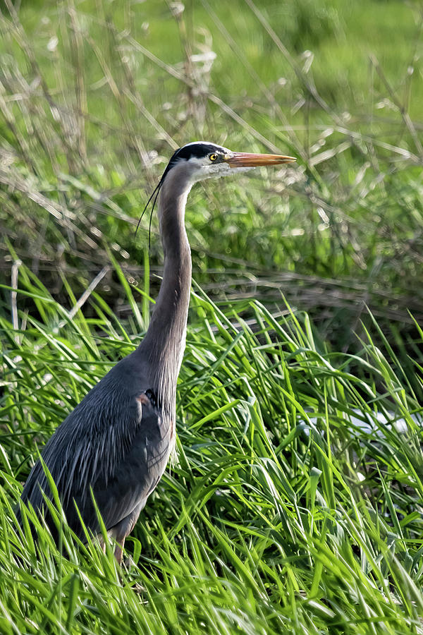 Great Blue Heron in the Grass by Belinda Greb