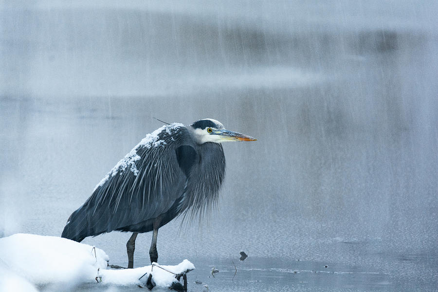 Great Blue Heron by Kaishin Chu