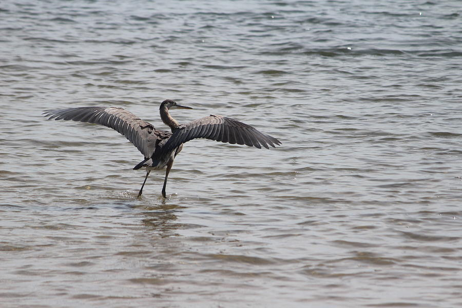 Bird Photograph - Great Blue Heron Landing by Callen Harty