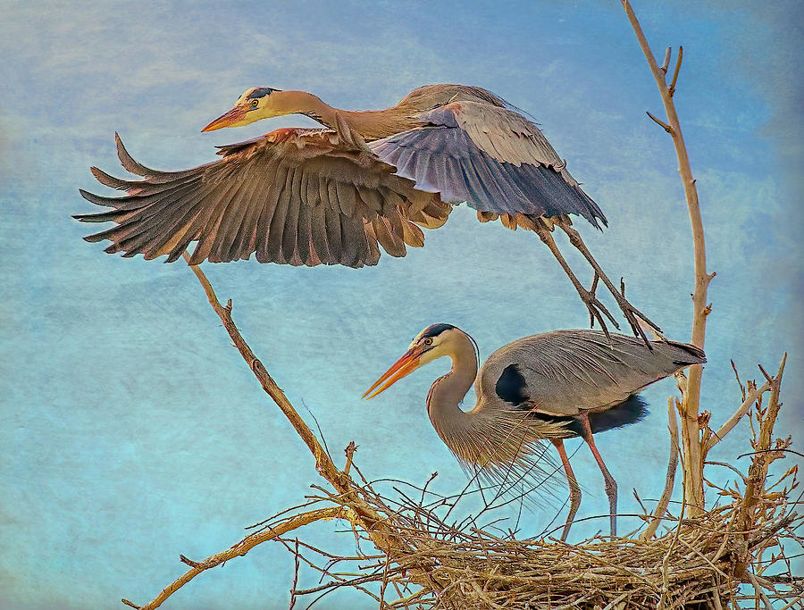 Great Blue Heron Leaving Nest by Lowell Monke