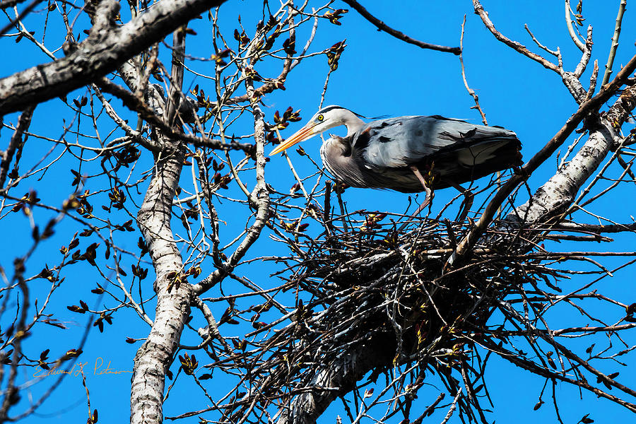 Great Blue Heron Nesting by Edward Peterson