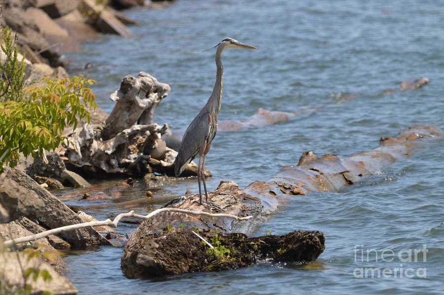 Great Blue Heron On A Log by Sheila Lee