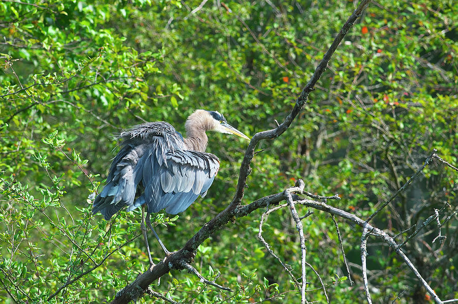 Great Blue Heron on a Tree Branch Fluffing its Feathers by Sharon Talson