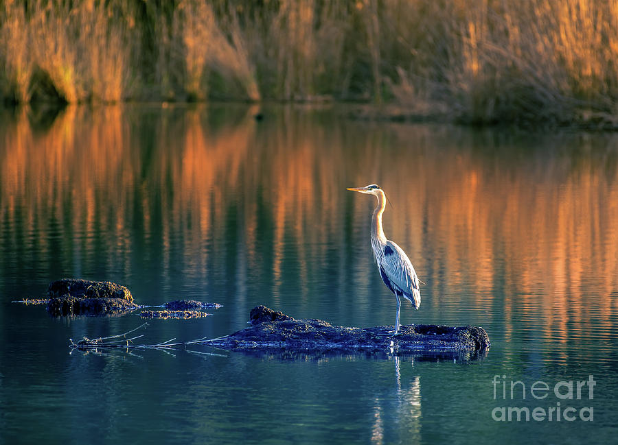 Great Blue Heron on Golden Pond by Patrick Wolf