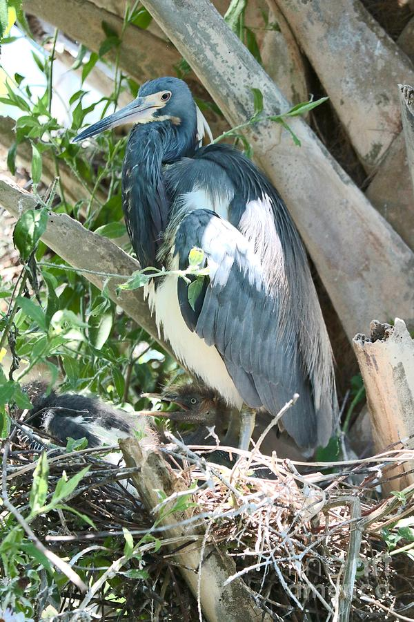 Great Blue Heron on Nest with Baby by Carol Groenen