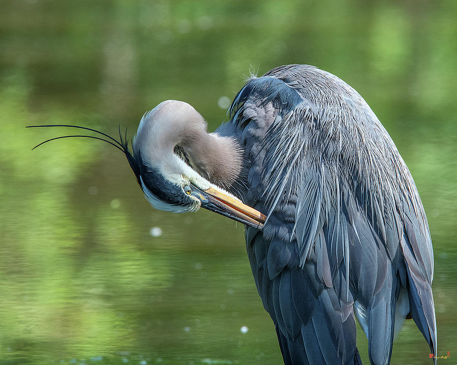 Great Blue Heron Preening DMSB0157 by Gerry Gantt