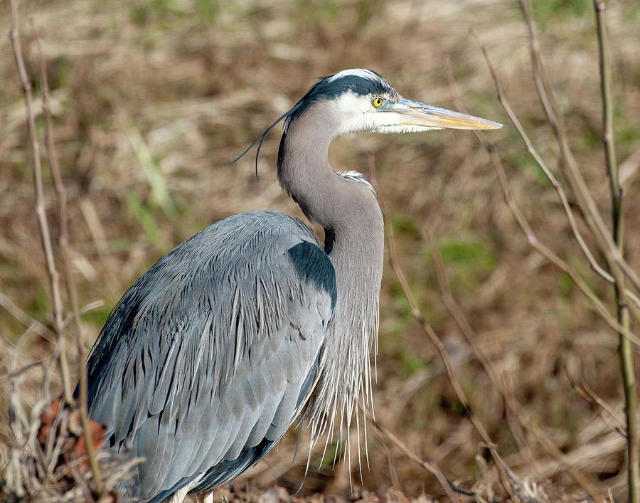 Great Blue Heron Profile by Lara Ellis
