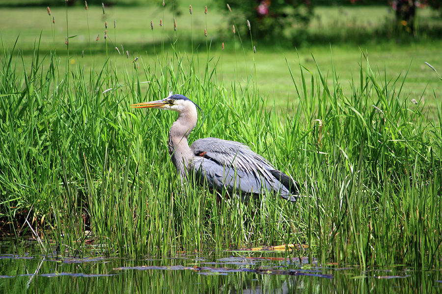 Great Blue Heron Photograph by Richard A. Whittaker