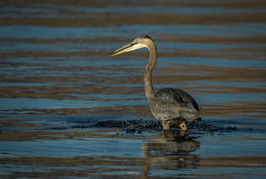Great Blue Heron by Rick Mosher
