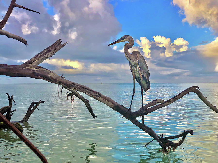 Great Blue Heron by Robb Stan