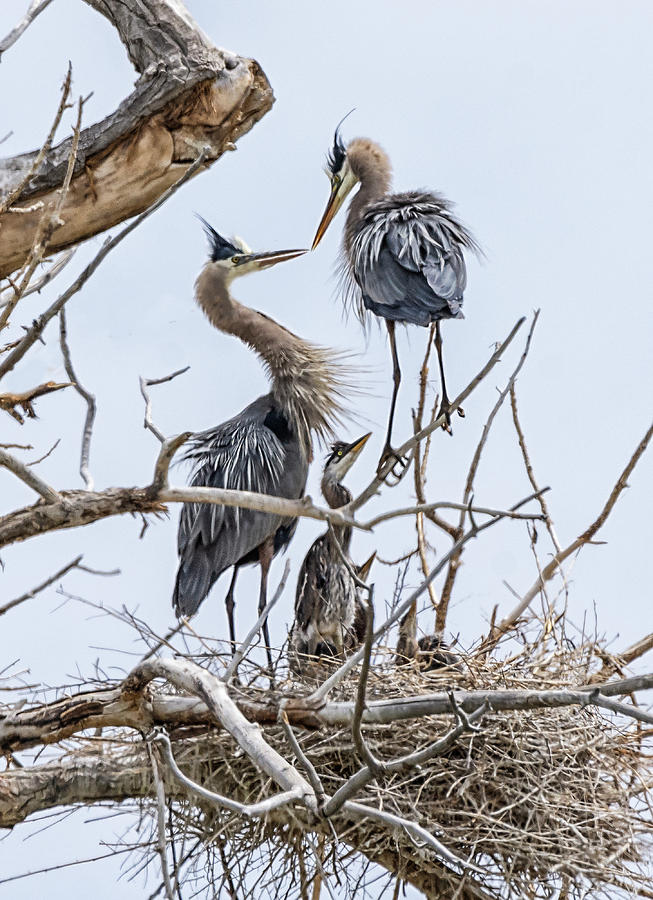 Great Blue Heron Photograph - Great Blue Heron Rookery 4 by Rick Mosher