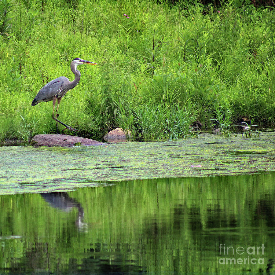 Great Blue Heron Photograph - Great Blue Heron Square by Karen Adams