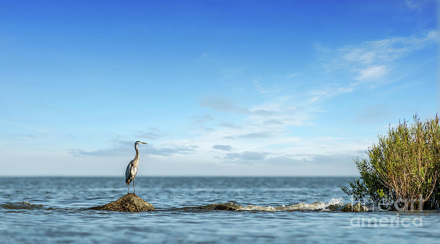 Great Blue Heron Standing on a rock jetty on the Chesapeake Bay by Patrick Wolf