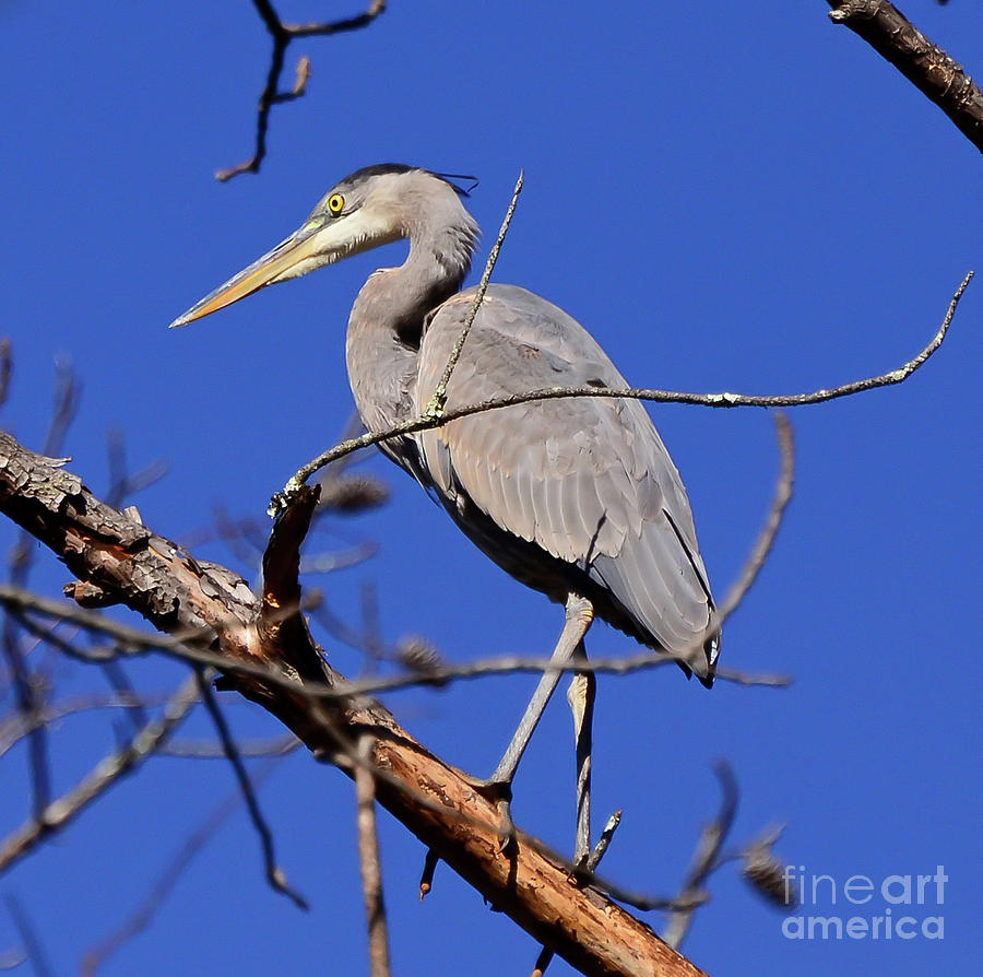 Great Blue Heron Strikes A Pose by Kerri Farley