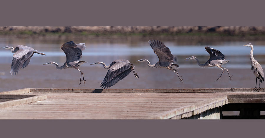 Great Blue Heron Take Off by Mike Gifford