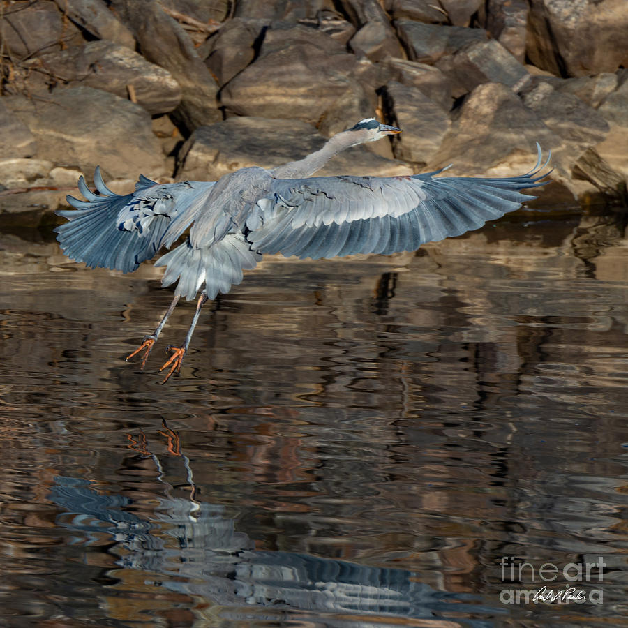 Great Blue Heron Takes Off by Carl Paulson