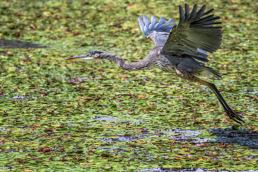 Great Blue Heron Taking Flight Over a Lily Pond by Belinda Greb