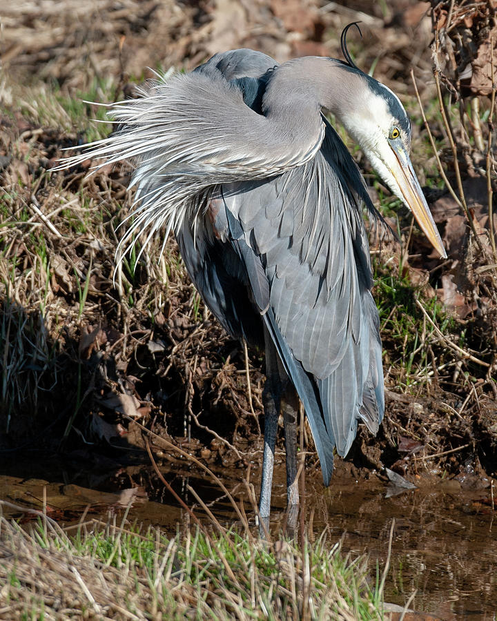Great Blue Heron The Poser by Lara Ellis