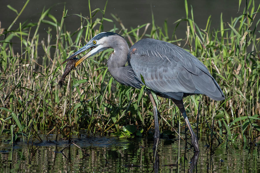 Great Blue Heron with Fish by Ken Stampfer
