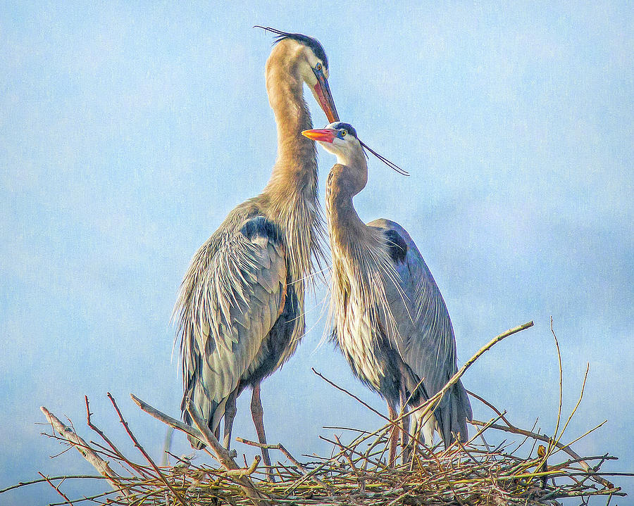 Great Blue Herons on Their Nest by Lowell Monke