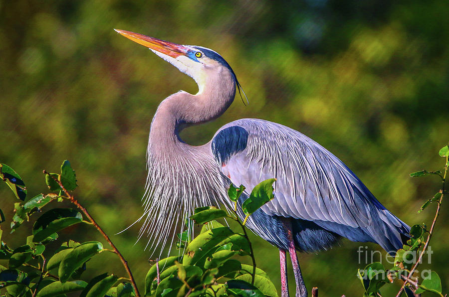 Great Blue in Mating Plumage by Tom Claud