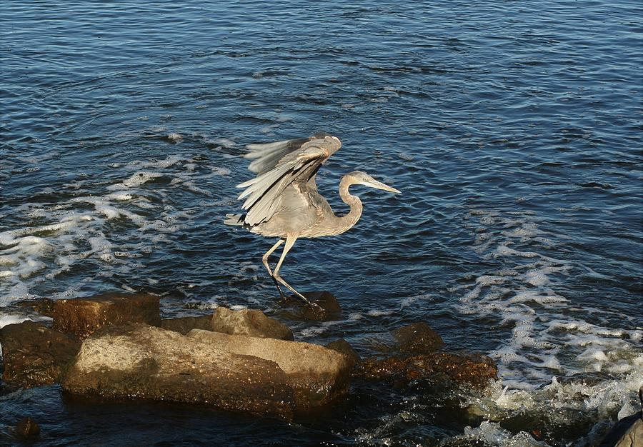 Great Blue Wing Spread by Karen Silvestri