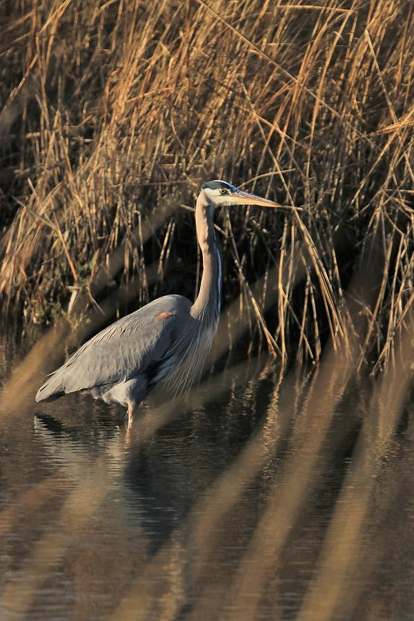 Great Blue With Setting Sun by Karen Silvestri