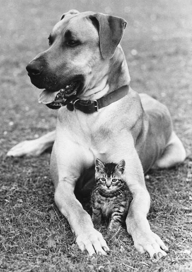 Great Dane And Kitten Photograph by John Pratt