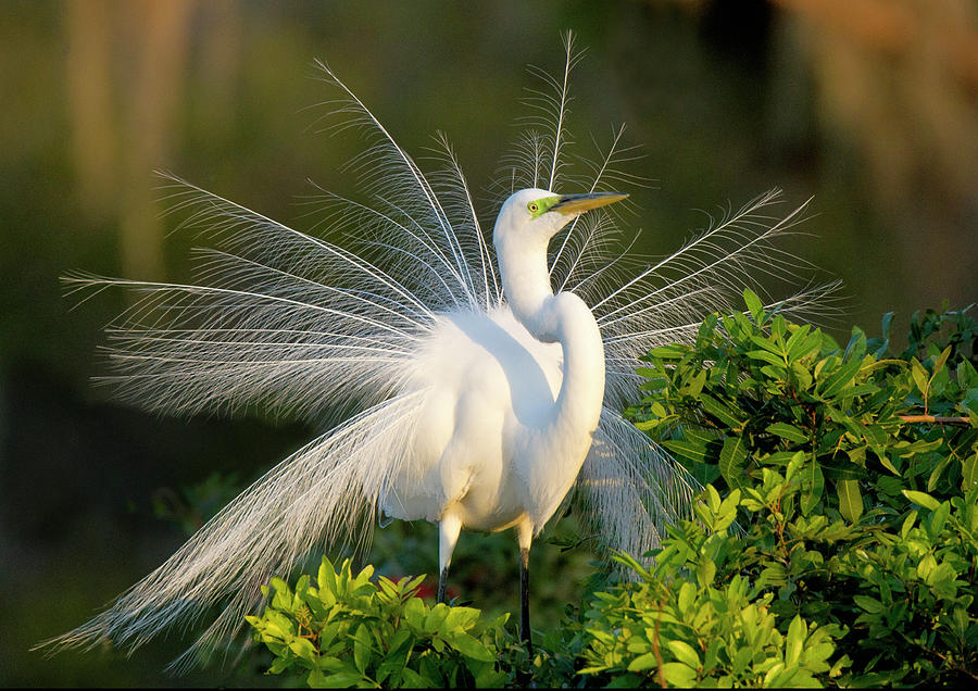 Great Egret Photograph by © Geoff Coe / Wild Images Florida