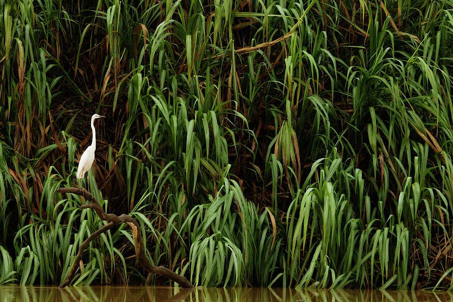 Great Egret Along Kinabatangan River Photograph by Sebastian Kennerknecht