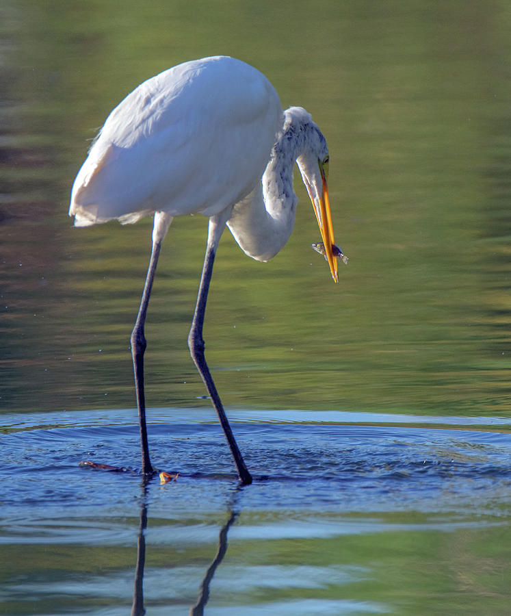 Great Egret and Fish 6454-081619 by Tam Ryan