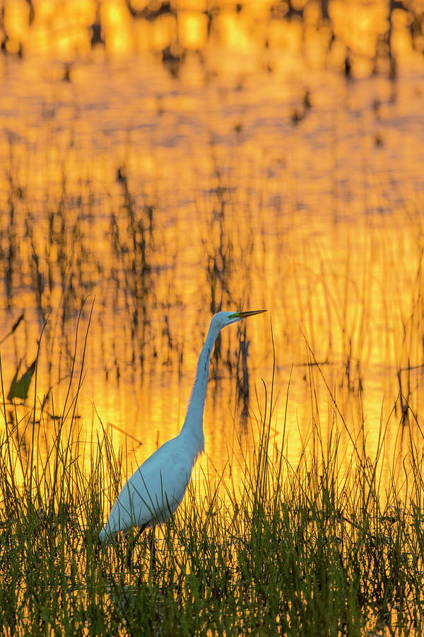 Vertical Photograph - Great Egret Ardea Alba At Sunset, Viera by Panoramic Images