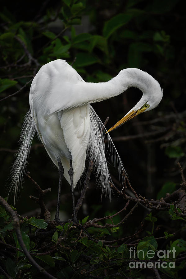 Animals In The Wild Photograph - Great Egret Ardea Alba Grooming Its by Daniel Parent