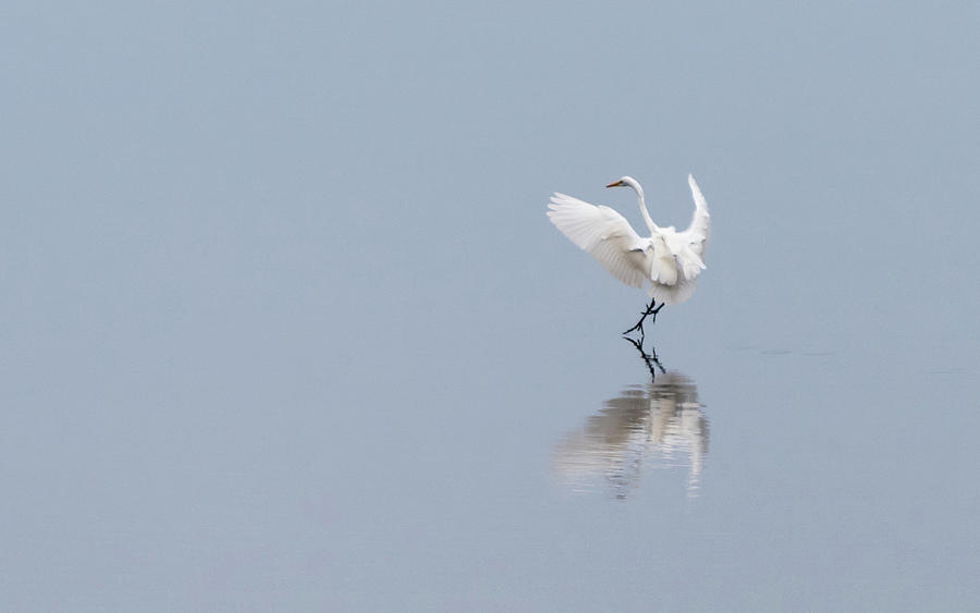 Great Egret Coming in for a Landing by Johanna Froese