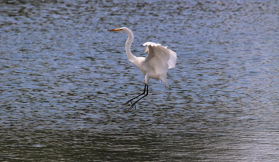 Great Egret Coming In For A Landing by Karen Silvestri