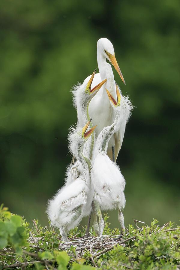 Great Egret Feeding Time by Jurgen Lorenzen