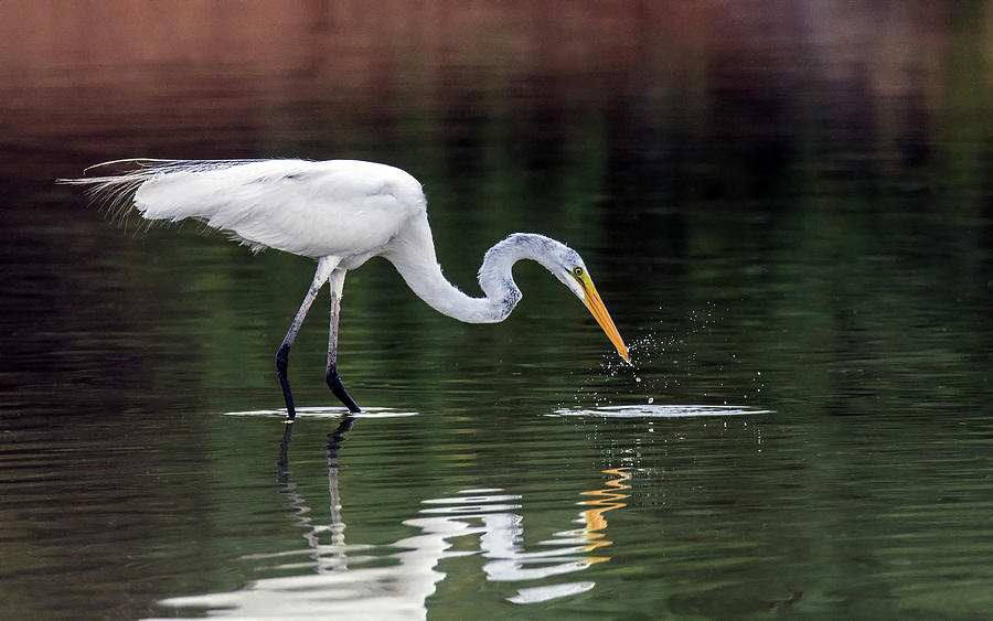 Great Egret Fishing 2712-071219 by Tam Ryan