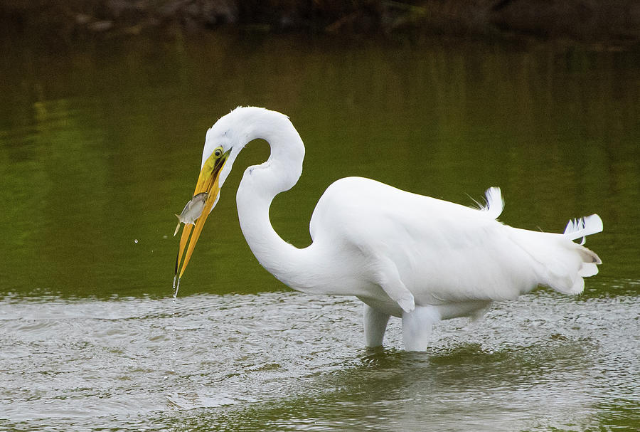 Great Egret Fishing by Jennifer Ancker