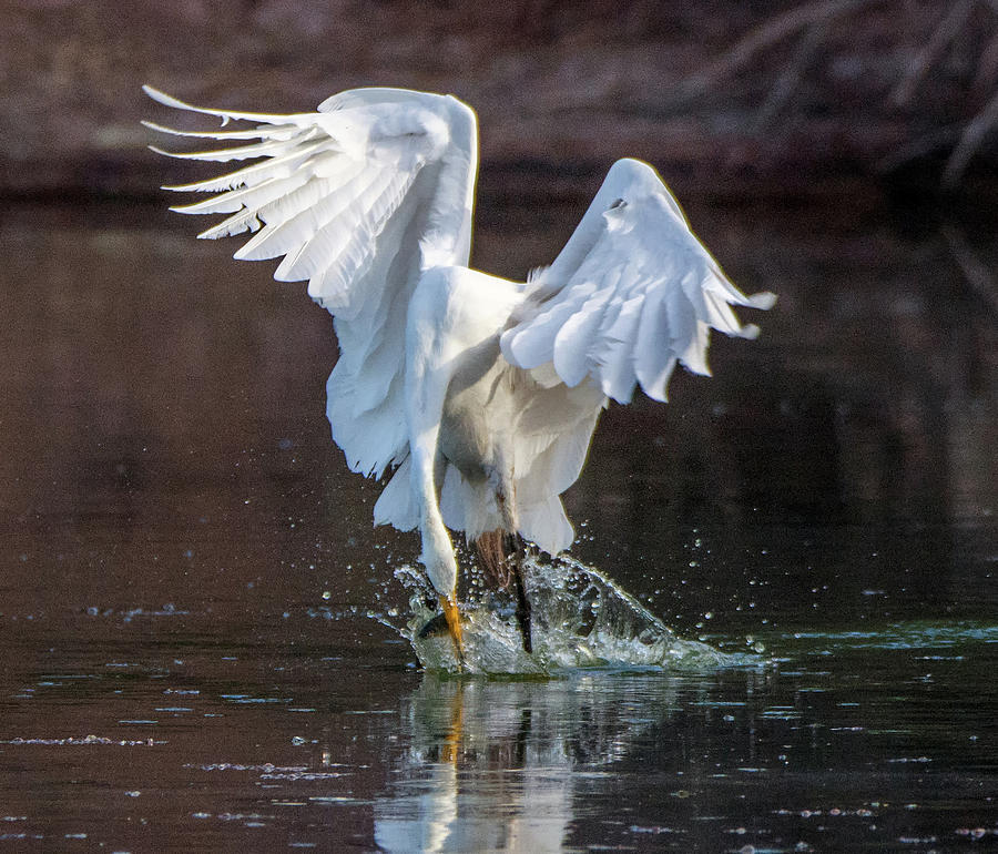 Great Egret Fishng 7931-061719 by Tam Ryan