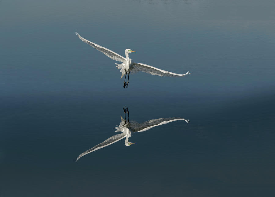 Adam Jones Photograph - Great Egret Flying With Reflection by Adam Jones