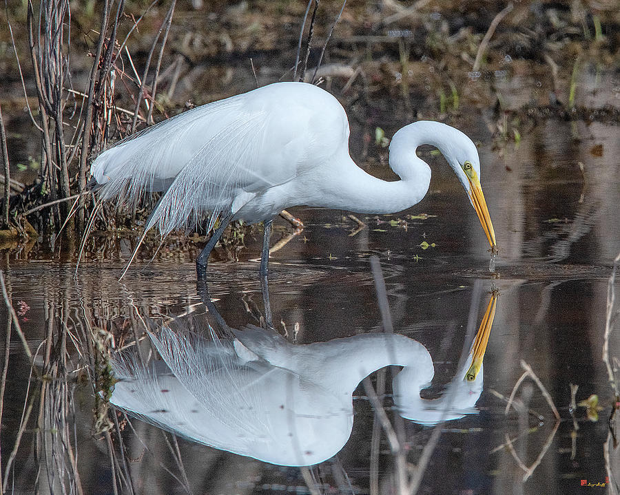 Great Egret in Breeding Plumage DMSB0154 by Gerry Gantt