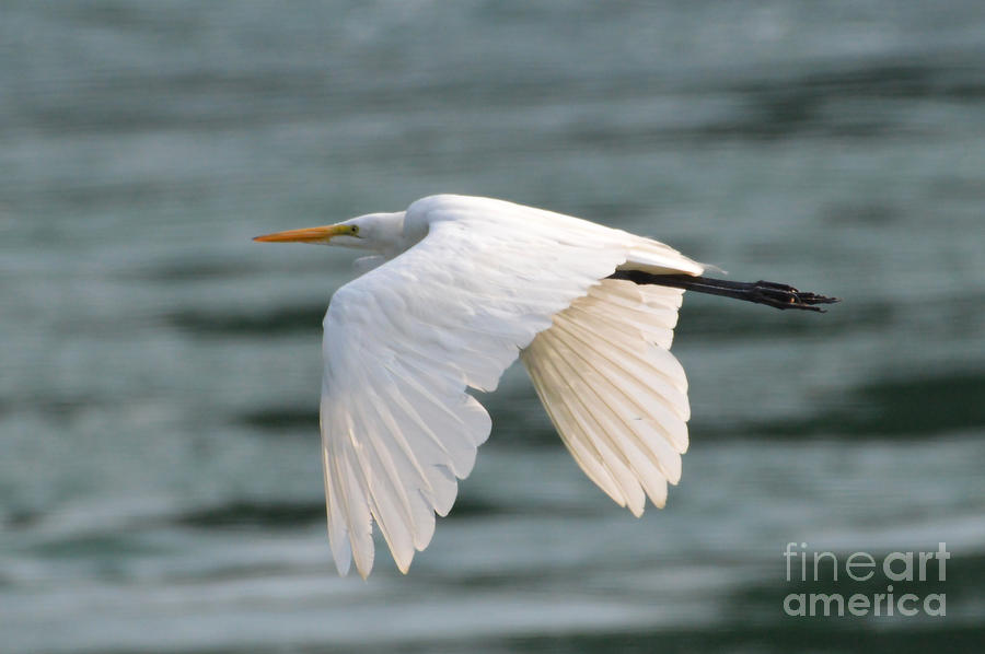 Great Egret In Flight by Sheila Lee