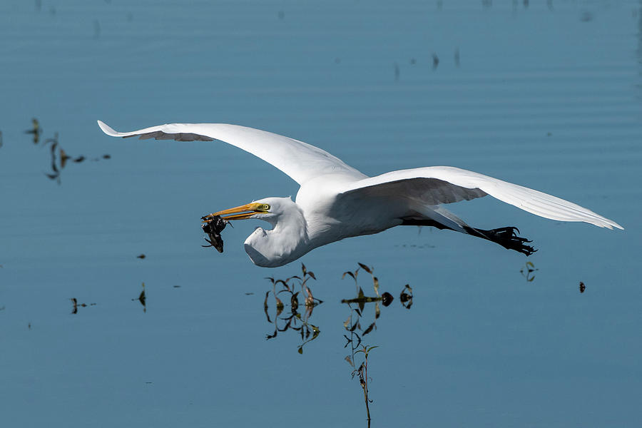 Great Egret Flying with Fish by Ken Stampfer