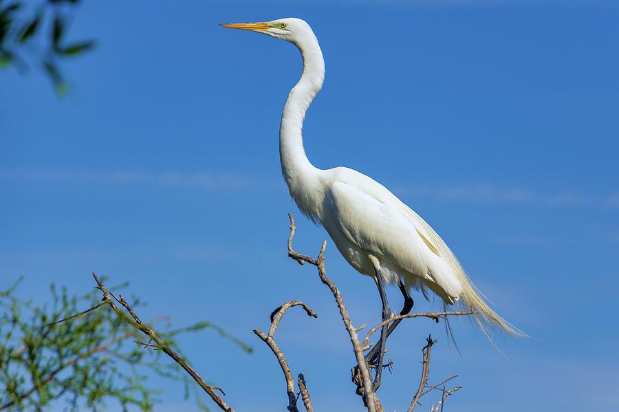 Great Egret by Randy Bayne
