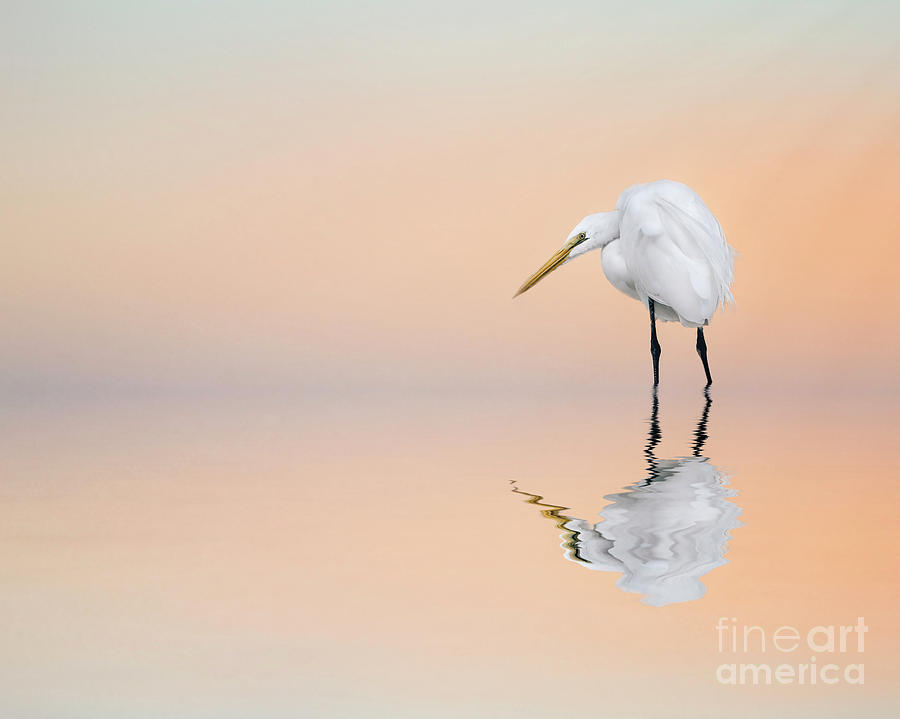 Great Egret Reflecting by Brian Tarr