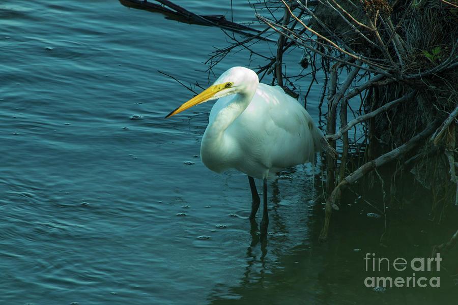 Nature Photograph - Great Egret by Sharon Mayhak