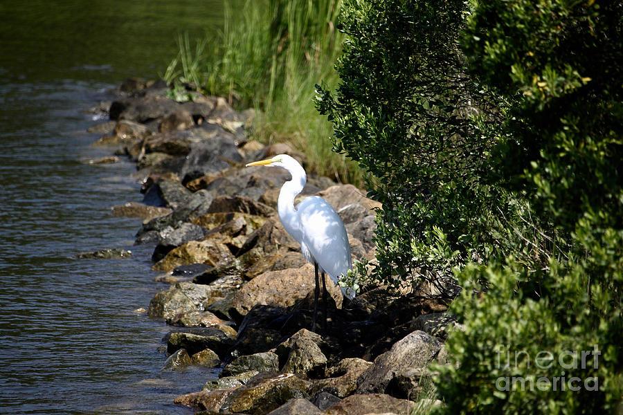 Great Egret by Tim Lent