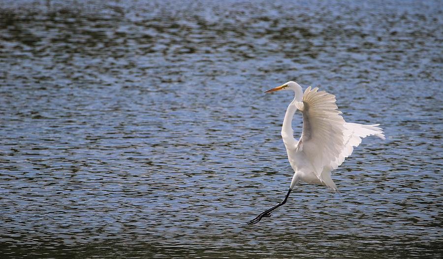 Great Egret Touching Down by Karen Silvestri