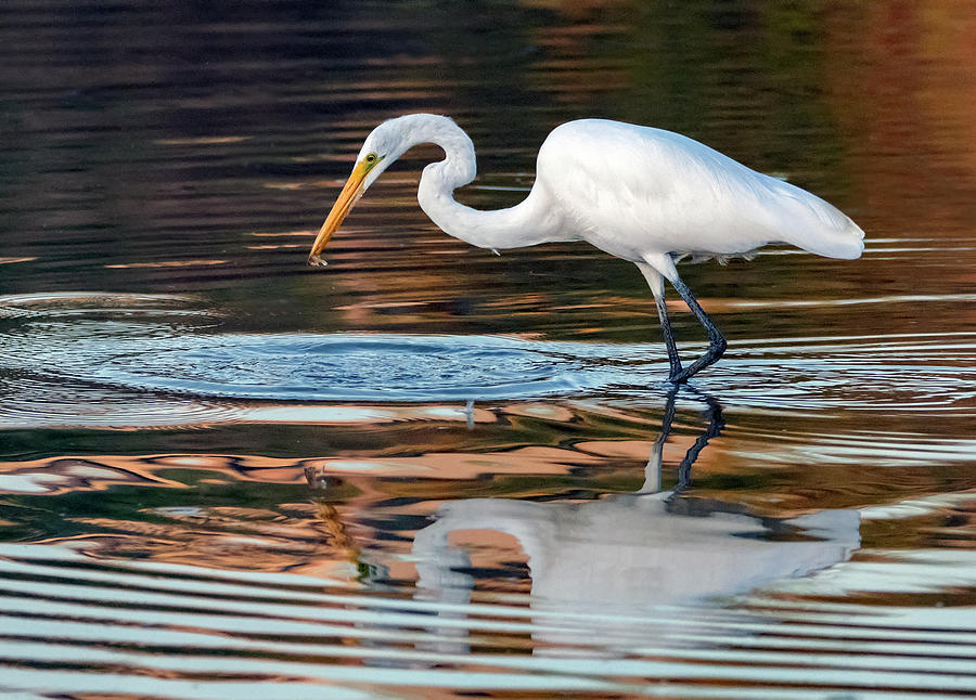 Great Egret with Fish 6291-091719 by Tam Ryan