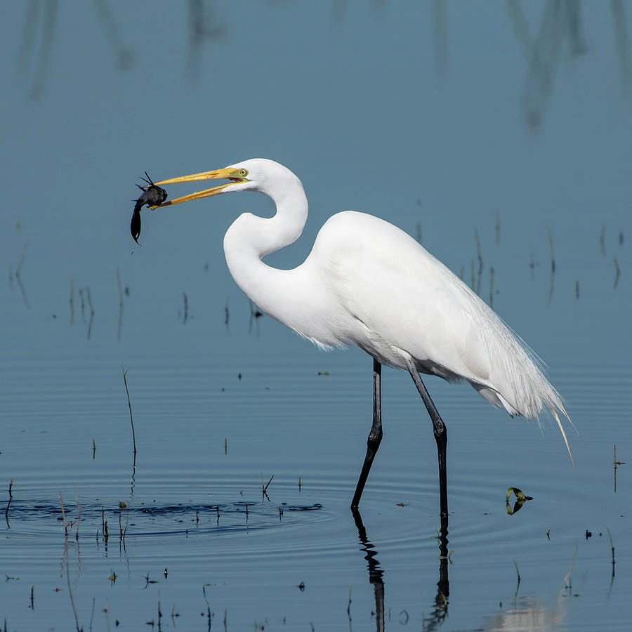Great Egret with Fish by Ken Stampfer